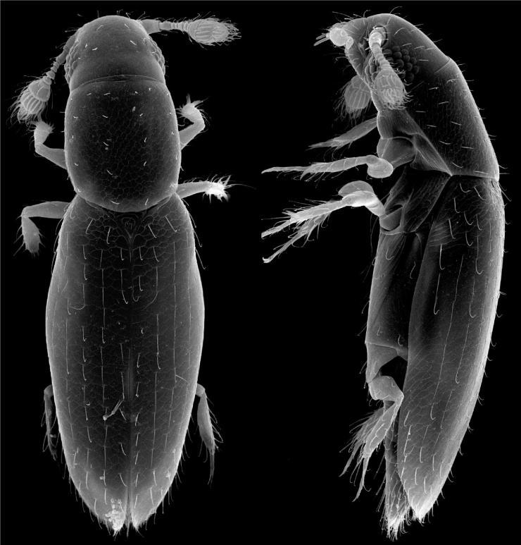 smallest-beetle