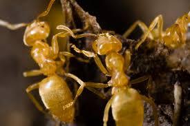 yellow ants